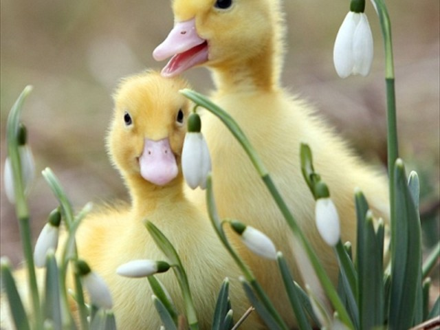 2011-05-26-16-44-14-5-a-pair-of-ducklings-is-playing-among-spring-flower