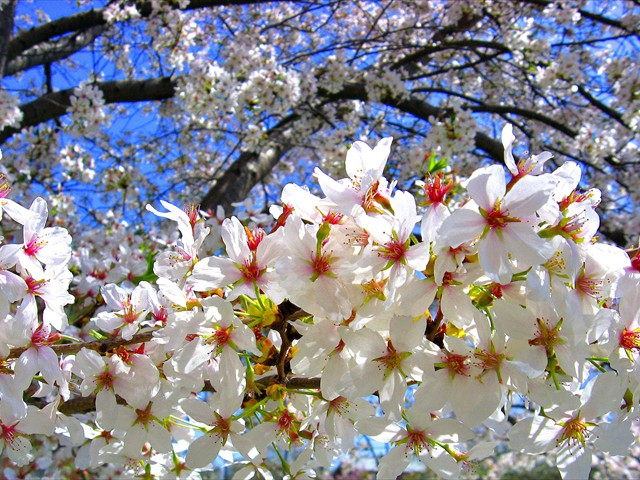 Cherry_blossoms_tree